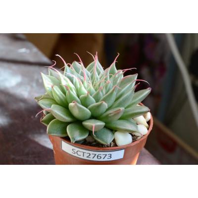 Купить Graptopetalum Filiferum