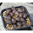 Купить хавортию (Haworthia)